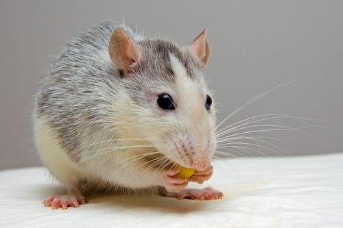 myška kousá